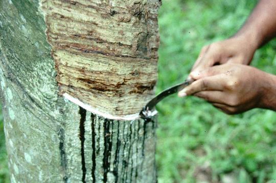 这些橡胶树的产量,将抵消泰国1月下滑的产量